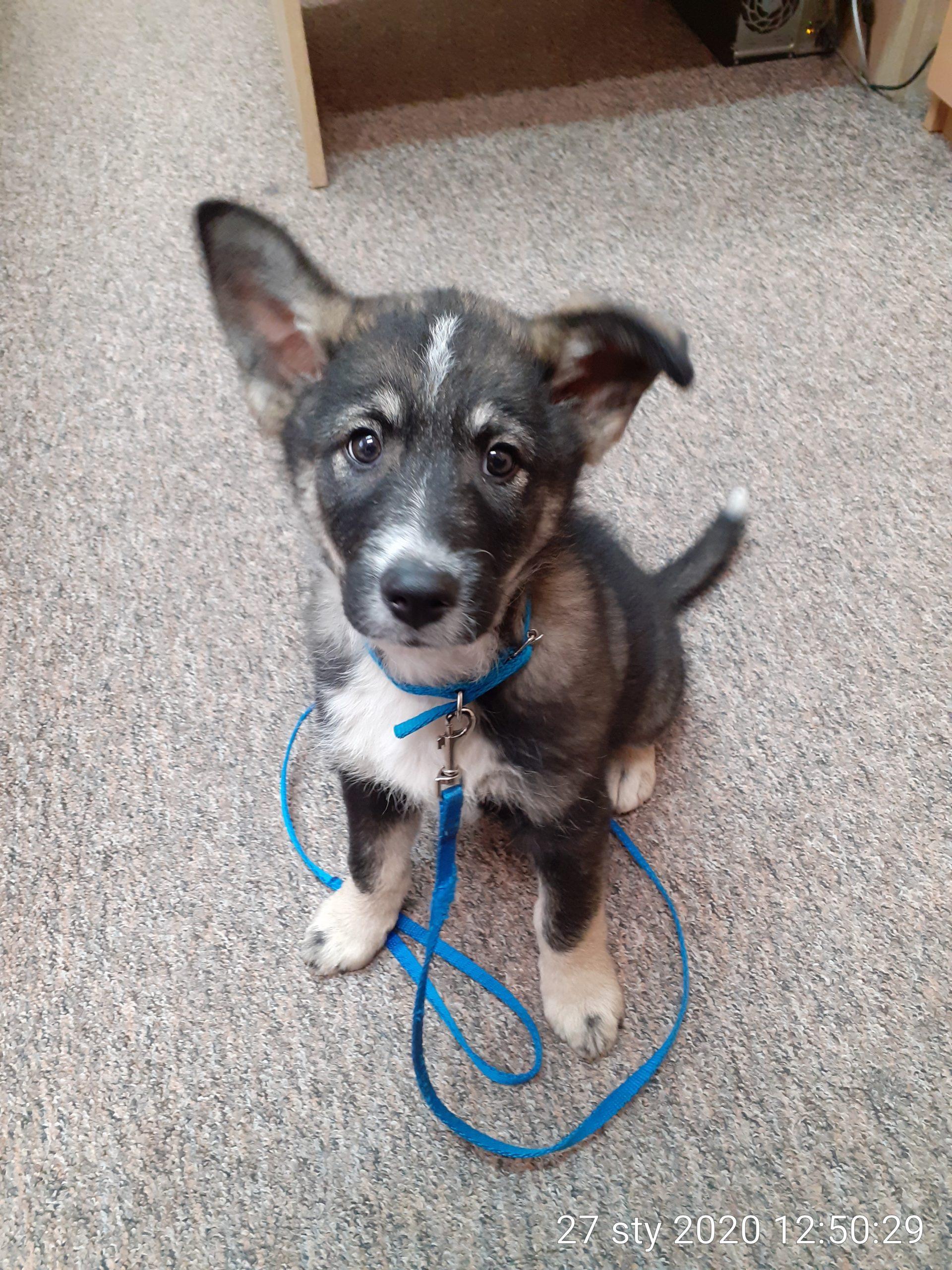 Pies z Sarnów – szukamy właściciela